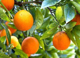 Bitter Orange - Cam đắng